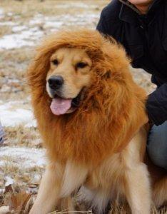 pet-wig-lion